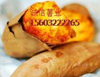 河北雄县红薯基地#河北白薯批发价格15603222265